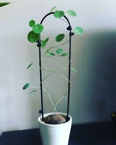 Stephania Erecta 4-5cm (BULB ONLY)