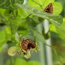 Aristolochia fimbriata WHITE VEINED DUTCHMANS PIPE VINE Exotic SEEDS!