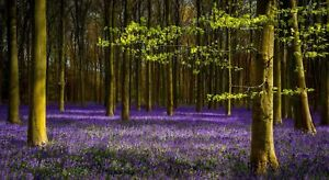 Bluebell Woods Forest Trees CANVAS WALL ART DECO LARGE READY TO HANG all sizes
