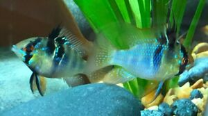 German Blue Ram  Mikrogeophagus Ramirezi  USA Bred  4 Months of Age