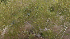 5 CREOSOTE BUSH PROSTRATE VARIETY FRESH CUTTINGS - VERY AROMATIC PLANT!