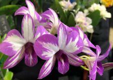 Dendrobium Enobi Purple 'Splash'. Dendrobium Orchid Plant. Blooming Now!