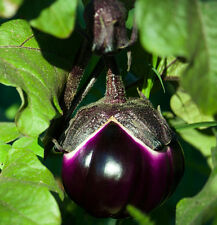Eggplant Thai Purple Black - A Delicious & Early Yield Eggplant - 20 Seeds