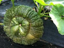 Pumpkin MARINA Di CHIOGGIA -Pumpkin Seeds-VENETIAN BEAUTY- 16 LARGE SEEDS