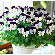 30 seeds Small Flower Pansy bonsai flower seeds A169