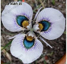 Iris orchid seeds in bulk, rare Queling, Houseplants clean the air 100pcs seeds