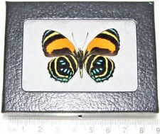 Callicore aegina verso Real Framed Butterfly Blue Orange Peru