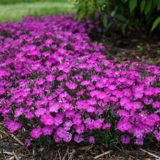 Aubretia deltoide semillas originales garantizada germinacion