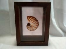 Beautiful Tiger NAUTILUS Shell In Case