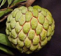 10 Organic Sugar Apple Seeds   Annona Squamosa Custard Apple   NON-GMO  2021