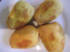 100 semi di Fico d'India Giallo-Opuntia ficus indica