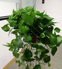 20 semi di foglia illustrativo seme purificazione dell'aria Chlorophytum scindapsus
