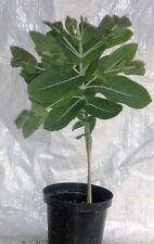 Eucalyptus Nitens, Eucalyptus Shining Gum,Evergreen, 75 - 100cm. inc. Pot