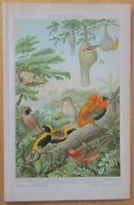 Beautiful Print Weaver Birds - 1890