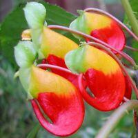 """Outrageous """"Parrot Impatiens""""! - Rare Impatiens niamniamensis - Fresh seeds"""