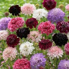 Pincushion Flower Scabiosa Mix of colors 100 fresh 2020 seed