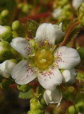 Rosettensteinbrech Saxifraga aizoon Minor Frühlingsblüher