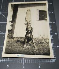 """""""Bill"""" Redbone Coonhound Coon Dog Hound Raccoon Skin on Barn Vintage Photo"""
