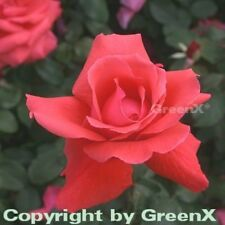 Edelrose Duftwolke® 30-60cm