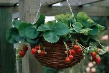 Rosso FRAGOLA RAMPICANTE semi, giardino pianta da frutto-Semi VITALI-UK Venditore