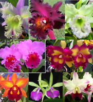 SALE - 3 Live Orchids (Cattleya+Oncidium+Dendrobium) + Easy Watering Pots