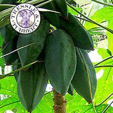 Raro fruta dulce sorpresa 5 semillas de papaya vendedor de Reino Unido