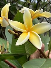 "Plumeria  Lahaina star.  Apx 12-14 "" 2 Tip branch fragrant Strong Great Bloomer"