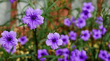 """Ruellia+Mexican petunia+White+Rooted +12"""" Inch+Live Plant+Rooted 7 inch Plug"""