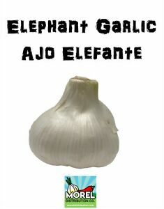 Elephant Garlic (Ajo Elefante) Sorted Bulbs! Great for Fall Planting!
