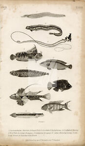 ANTIQUE Natural History Print by O. Goldsmith - Band Fish, Blenny, Wolf #E757