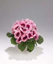 25+ Bi-Color Pink Empress Gloxinia Flower Seeds / Great Gift