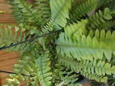 Fern plants, no container Plus Free Cactus/Succulent
