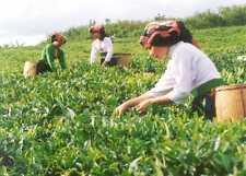 250ml Pure Green Tea Liquid Extract