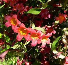 "BIGNONIA CAPREOLATA "" Cross vine "" 20 Seeds"