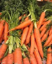 ♫ CAROTTE Super GEANTE /'Flakkee/' Daucus carota ♫ Graines ♫ Potagère Gustative