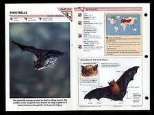 """PIPISTRELLE BAT"" WILD LIFE FACT FILE ANIMAL CARD/HOME SCHOOL STUDY"