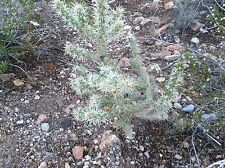 New listing Jumping Cholla Cactus *3 Clippings * Opuntia Basilaris Family