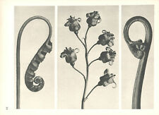 1928 vintage KARL BLOSSFELDT original 1st edition botanical photogravure #14