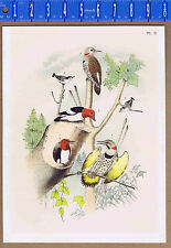 Red-Headed Woodpeckers, White-Breasted Nuthatch - STUDER 1878 Lithograph
