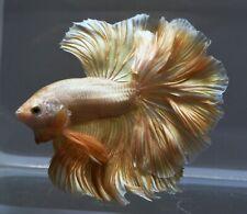 "Betta live fish Charisma Pure Gold Male Plakat 1.3"" AAA+"