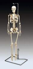 "Flexible Spine Human Skeleton Anatomical Model 33 1/2"""