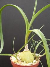 """Ornithogalum caudatum, exotic rare bulb plant cactus 4"""""""