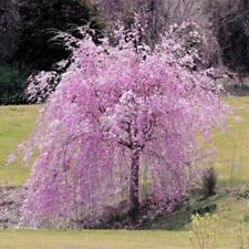 20Pcs Pink Fountain Weeping Cherry Tree Seeds Dwarf Trees Home Garden Plants