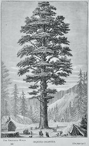 America - The Vegetable World SEQUOIA GIGANTEA - Victorian Print Figuier c1891