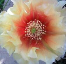 Cold Hardy Prickly Pear Opuntia Cactus , Large Ruffled Cream Blooms Bold Centers