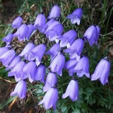 Campanula cochleariifolia Bavarian Blue | Fairies Thimbles | BabyBlue | 50_Seeds