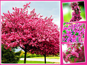 40 REDBUD TREE SEEDS - Giant, Showy Flowering Shrub (G. Cercis) US Free Shipping