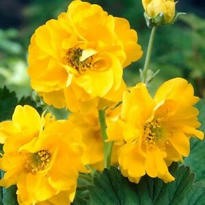 Geum Lady Stratheden - Approx 100 Seeds -  Avens