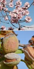 2 winterharte Mandelbaum-Palmen schnellwüchsig exotische Pflanzen für den Garten