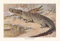 C1914 Naturale Storia Stampa ~ Nilo Coccodrillo ~ Lydekker